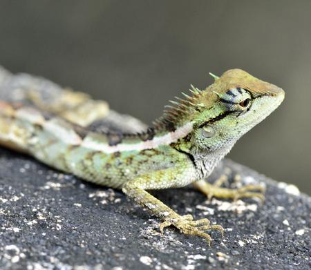prin: Head-up de lagarto con cresta verde, Boulenger largo Lagarto dirigido, microlepis Pseudocalotes Foto de archivo