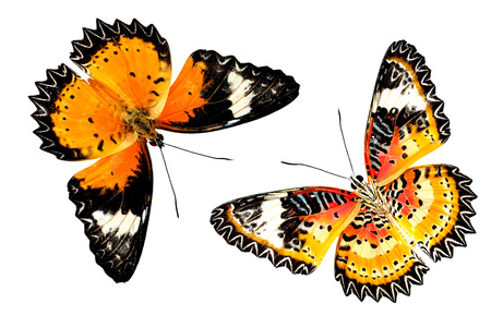biblis: Leopard Lacewing butterfly both of upper and lower wing profile in natural color