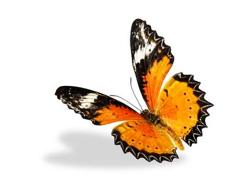 biblis: Leopard Lacewing butterfly flying up isolated on white background