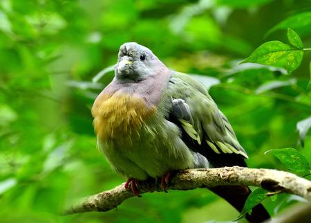 prin: Chico de paloma verde-Rosa cuello, vernans Treron, con plumas hinchado, p�jaro Foto de archivo