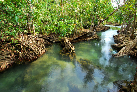 mangrove tree with roots along the turqouise blue water in the stream photo