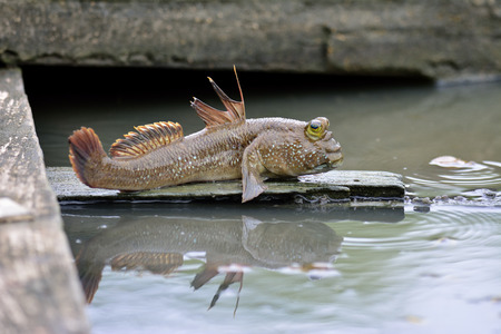 Mudskipper fish about to jump down the water to swim