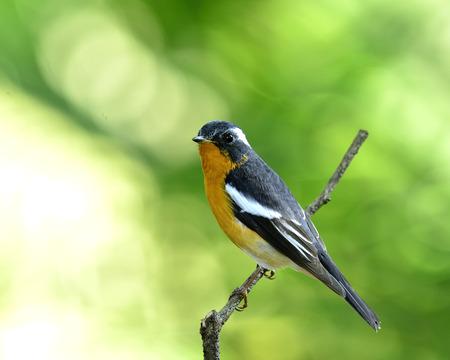 prin: Mugimaki Flycatcher vientre amarillo ave (Ficedula mugimaki) posarse en la rama con fondo verde agradable