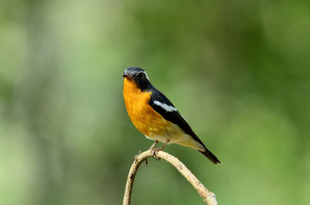 breen: A little Mugimaki Flycatcher on a small branch with clear breen background