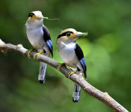 prin: Buen par de pechos-Silver Broadbill, paternidad, Serilphus lunatus, la publicación en la rama con grandes detalles, pájaro