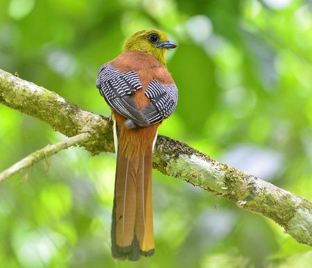 Orange-breasted Trogon percing sur la branche avec de jolis détails dos et fond clair, oiseau dans la nature, oreskios Harpactes