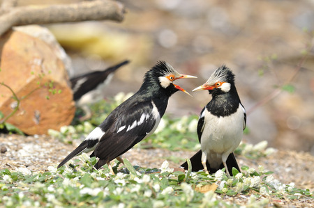 Asian Pied Starling are fighting each other photo