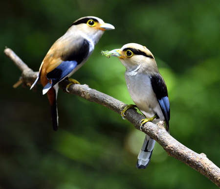 silver perch: Pair of Silver-breasted Broadbill, parenthood, Serilphus lunatus, posting on the branch with great details, bird