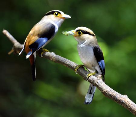 prin: Par de Plata-breasted Broadbill, paternidad, Serilphus lunatus, la publicaci�n en la rama con grandes detalles, p�jaro