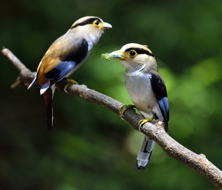 silver perch: Pair of Silver-breasted Broadbill, Serilphus lunatus, posting on the branch with great details, bird Stock Photo