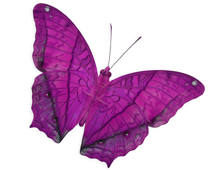 pink cruiser: Beautiful Pink Butterfly (Common Cruiser) lower wing profile isolated on white background Stock Photo