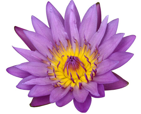 Pink Lotus Flower or Waterlily isolated on white background photo