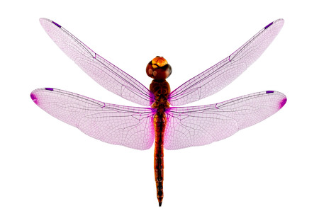 Pink wings Dragonfly isolated on whit background