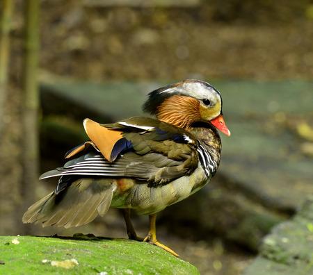 aix galericulata: Puffy of Colorful Male Mandarin Duck (Aix galericulata) Stock Photo