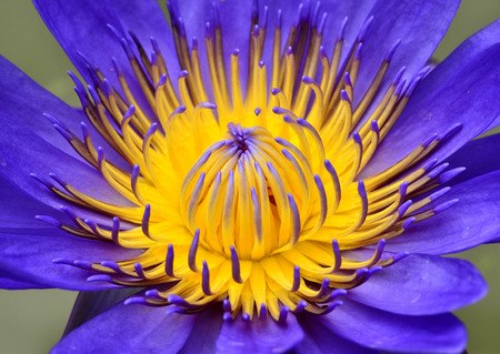 Purple Lotus flower with closeup pollens and its details photo