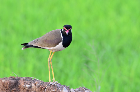 Red-wattled Lapwing standing with head to toe details, Vanellus indicus, bird photo