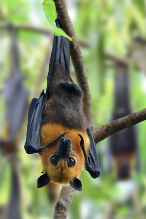 pteropus: Scary Big Bat or Hanging Flying Fox with many others behind in background