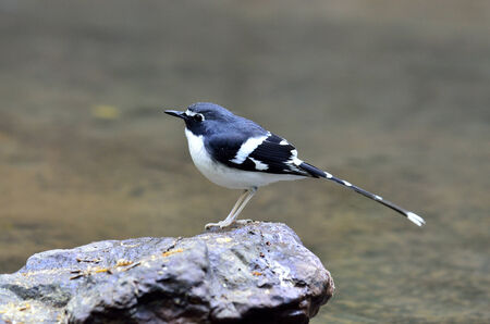 A Slaty-backed Forktail standing on the rock with background of clear water in the stream