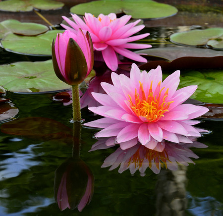 burgeon: Sweet pink lotus flowers with burgeon surrounded by its leafs