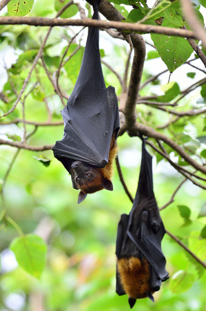 pteropus: Two of Hanging Lyles flying fox on the tree branch, Pteropus lylei