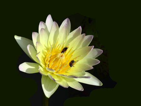 Water Lily or White Lotus Flower with bees taking stick on its pollen photo