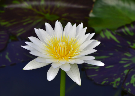 White and Yellow Lotus Flower or Waterlily on green blur background photo
