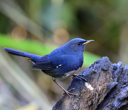 White-bellied Redstart bird, the beautiful blue bird standing on the black log