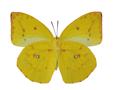 emigrant: Yellow Butterfly, Lemon Emigrant, lower wing profile isolated on white background Stock Photo