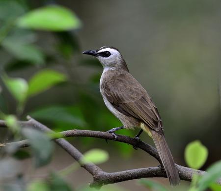 prin: Bulbul Amarillo ventilado, Pycnonotus goiavier, ave de Tailandia, flavescent, aceituna de alas, orejas de rayas