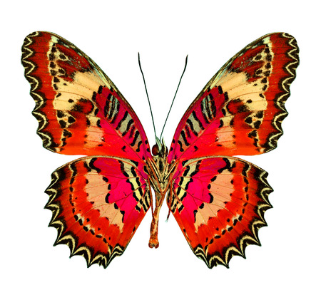 biblis: Beautiful Red flying butterfly isolated on white background