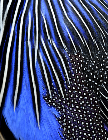 bird feathers: Close up of blue and black bird feathers in great details of texture background