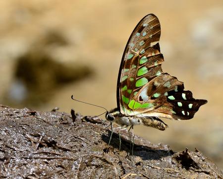 green jay: Punto Verde, atada de Jay mariposa bebiendo el n�ctar en la mierda de elefante