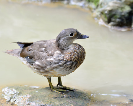 Beautiful female of mandarin duck standing on the rock in the stream photo