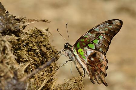 green jay: Punto verde hermoso, atada de Jay, mariposa bebiendo el n�ctar de esti�rcol de elefante