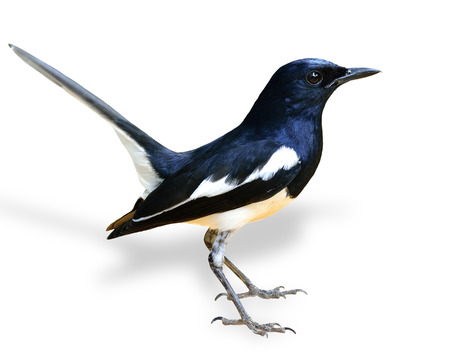 Beautiful Male of Oriental Magpie Robin, the black and white bird, with tail lifting isolated on white