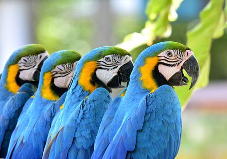 一緒に座ってブルーとゴールドのコンゴウインコ鳥の美しい 写真素材