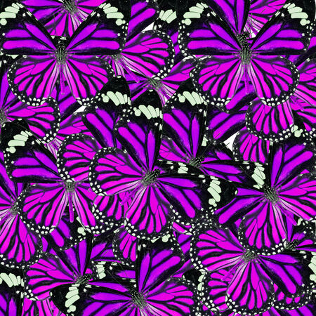 lacewing: Background Texture made of  Purple Common Tiger Butterflies in fancy color and patterns