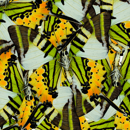butterfly wings: Mix of many fivebar butterflis in the same frame as a nice mess background Stock Photo