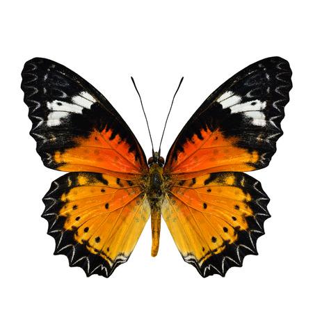 chrysope: Belle aile sup�rieure malais chrysope papillon dans le profil de couleur naturelle isol�e sur fond blanc