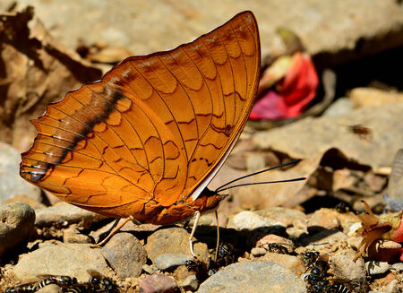 mormon: Beautiful of Common Commander Butterfly in natural environment