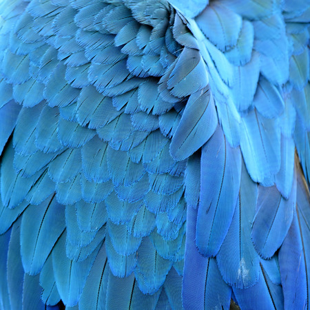 Close up of Blue and Gold Macaw bird feathers with details