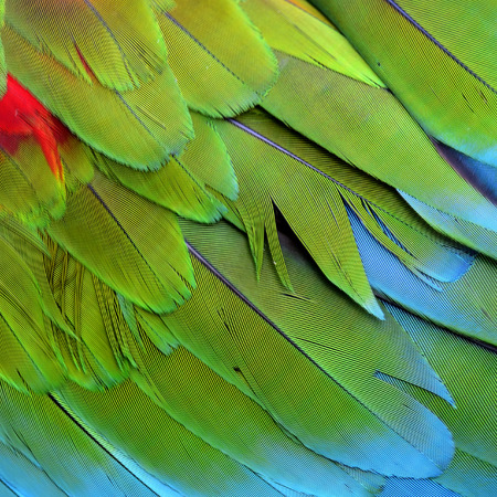 Close up of Green-winged macaw birds feathers