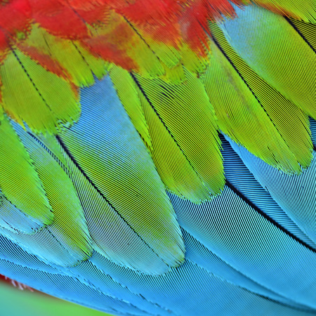 Close up of Green-wionged Macaw birds feathers in sharp details Stock Photo