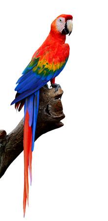 全身が白い背景で隔離の緋色のコンゴウインコ鳥