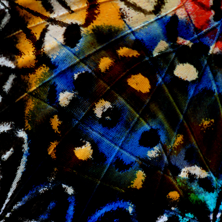 lacewing: The beautiful multicolor of Leopard Lacewing Butterflys wing skin in a great background pattern Stock Photo