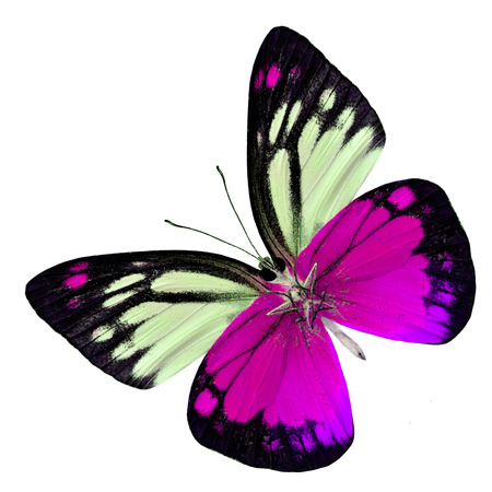 pink butterfly: Beautiful of Sweet Pink Butterfly in fancy color profile (Orange Gull) isolated on white background