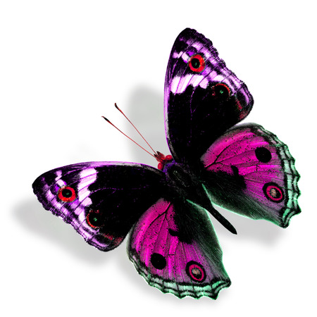 pink butterfly: Beautiful Sweet Pink Butterfly (Male of Blue Pansy) in fancy color profile isolated on white background with soft shadow Stock Photo