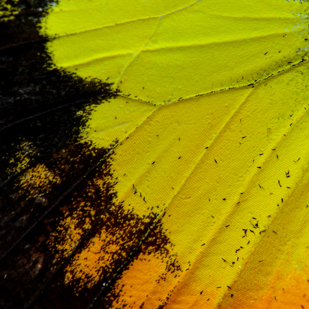 lacewing: Close up of beautiful Orange Yellow and Black Butterflys wing skin