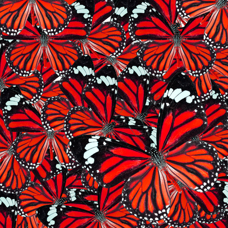 lacewing: Background Texture made of  Beautiful Red Common Tiger Butterflies in fancy color and patterns Stock Photo
