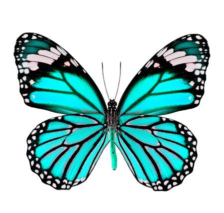 mariposa verde: Hermosa Luz verde de la mariposa en el color de fantas�a aislado en fondo blanco